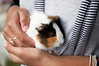 Farm pet, guinea pig Cavia porcellus