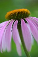 Purple Coneflower Echinacea in bloom