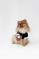 A Pomeranian dressed in a baseball costume with a baseball glove and ball