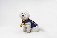 A Bichon Frise wearing a Boy Scout costume