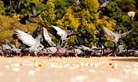 Many pigeons in a park feeding on grains