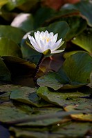 USA, Washington, Washington DC, Water lilies in Aquatic Gardens