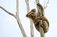 Wild Koala up a tree