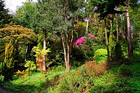 Pink azalea and conifer trees in the old garden