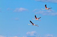 Greater Flamingo Phoenicopterus ruber roseus _ France, Europe