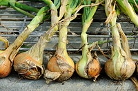 Home grown onions drying on corrugated iron