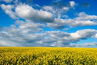 Oilseed Rape Field under Cloudy Sky