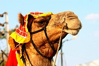 Close_up of a camel