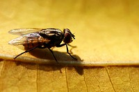 Close up of an housefly