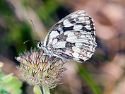 Marbled White - Melanargia galathea, Greece