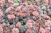 Sedum, 'strawberries and cream'