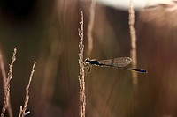 Blue-tailed Damselfly (Ischnura elegans) in the evening light, Baden-Wuerttemberg, Germany, Europe
