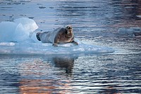 Bearded seal Erignathus barbatus resting on ice floe at Svalbard, Spitsbergen, Norway