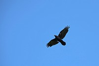Common raven Corvus corax in flight, Germany