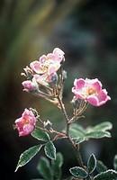 Rosa, Rose, Wild rose, Dog rose