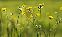 Ranunculus acris, Buttercup