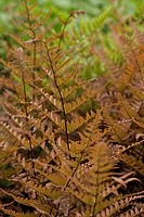 Dryopteris erythrosora, Japanese Shield Fern, Autumn Fern