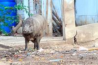 Wild boar feeding in mud