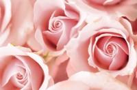 Rosa, Rose