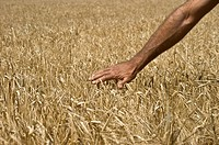 Man touching barley