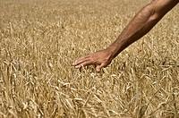 Man touching barley