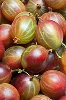 Gooseberries / Ribes uva_crispa / Gooseberry