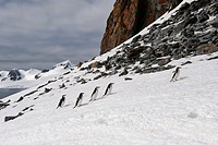 Chinstrap Penguins walking up glacial ice cap, Half Moon Island, South Shetland Island, Antarctic Peninsula / Pygoscelis antarctica / Bearded Penguin
