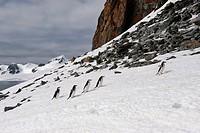 Chinstrap Penguins walking up glacial ice cap, Half Moon Island, South Shetland Island, Antarctic Peninsula / Pygoscelis antarctica / Bearded Penguin