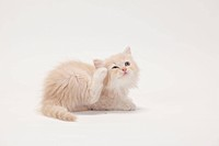 British Longhair Cat, kitten, 8 weeks, cream_white / Highlander, Lowlander, Britanica