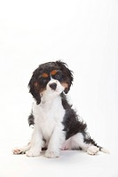 Cavalier King Charles Spaniel, puppy, tricolour, 15 weeks
