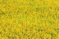 Sunflower Helianthus fields, Andalucia, Spain, Europe