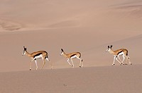 Springbok Antidorcas marsupialis on sand dune, Skeleton Coast National Park, Namibia, Africa
