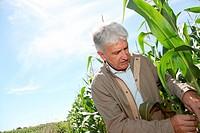 Agronomist analysing corn field