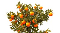 Beautiful tree with mandarin fruit