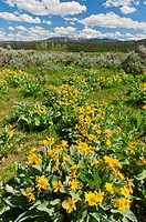 Arrowleaf Balsamroot Balsamorhiza sagittata flowers and the Gros Ventre Mountain Range in early summer, Grand Teton National Park, Teton County, Wyomi...