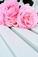 Pink roses on a white bench