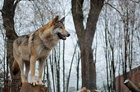 Wolf looking into the distance
