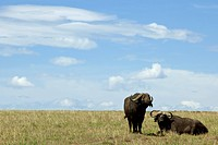 Two buffalos while resting