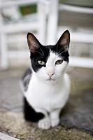 Black and White fur cat