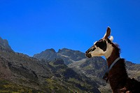 Lama profile and Pyrenees Mountains