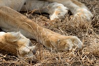 The large paws of a lion sleeping in the grass.