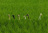 group of wild ducks in rice paddy, one separating and looking the other way