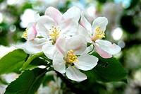 Apple Tree Flower