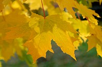 Scandinavian Lifestyle_yellow leaves