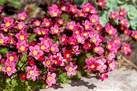 Plants form a low cushion or mound of bright green leaves, bearing short stems of upfacing, cup_shaped bright or soft_pink flowers in spring.