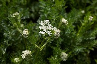 Caraway Carum carvi, also known as meridian fennel, or Persian cumin, is a biennial plant in the family Apiaceae, native to western Asia, Europe and N...