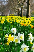 Daffodils in St. James´s Park