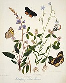 Indian butterflies and flowers. Butterflies feeding on Kotagherry Kotagiri wild flowers. This watercolour is plate 6 from one of a set of three volume...