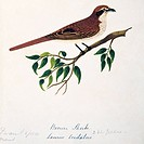 Brown shrike Lanius cristatus. This watercolour is plate 11 from ´Neilgherry Birds and Miscellaneous´ 1858 by the Indian_born British artist and amate...