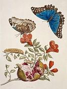 Insects of Surinam. 18th_century artwork from ´Metamorphosibus Insectorum Surinamensium´ 1726, a work by the German nature illustrators Maria Sybilla ...